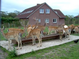 """Die Hirsche laufen direkt am Haus und freuen sich über Möhren, Äpfel und Kastanien. / Bed and Breakfast """"Christas Haus"""" in Wester-Ohrstedt"""