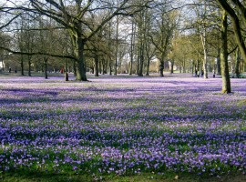 """Wir haben es Mönchen im 15. Jahrhundert zu verdanken, dass der Schlosspark im Frühjahr sein """"lila Kleid"""" ausbreitet. Es ist jedes Jahr ein großes Ereignis und ein einmaliger Anblick. / Ferienwohnung """"Rödemis"""" in Husum"""