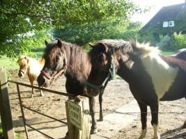 """Unsere Ponys Flecki und Kairo warten immer auf Beschäftigung ... / Bauernhof/Ferienhof """"Ferienhof Gertz"""" in Osterhever"""