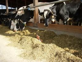 """Kühe beobachten - bei uns sind Sie auch im Stall immer herzlich willkommen / Bauernhof/Ferienhof """"Ferienhof Gertz"""" in Osterhever"""