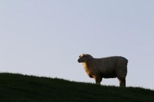 """Mit ihren """"Werkzeugen"""" Füße und Mäuler sorgen die Schafe dafür, dass die äußere Hülle der Deiche sicher bleibt. So helfen die Schafe ein Ausspülen des Deiches zu verhindern.  / Ferienwohnung """"Rödemis"""" in Husum"""